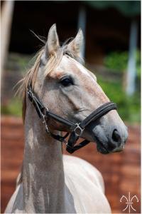 Photo cheval a vendre PEGASO DE LA GESSE